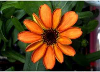 zinnia primera flor del espacio