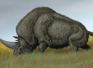 El Unicornio de Siberia podría haber caminado junto a los seres humanos