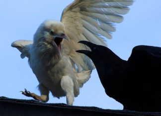 Jasper el cuervo blanco
