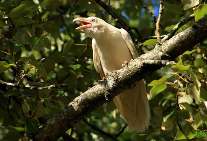 Jasper cuervo blanco