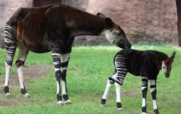 El Okapi (Okapia johnstoni), mitad cebra, mitad jirafa