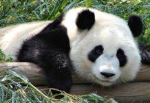 El oso panda o panda gigante, en peligro de extinción
