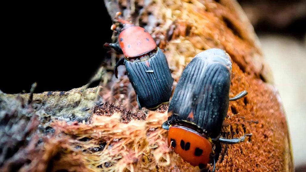 El picudo rojo el invencible escarabajo de las palmeras
