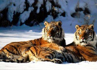 El tigre siberiano un animal casi extinto
