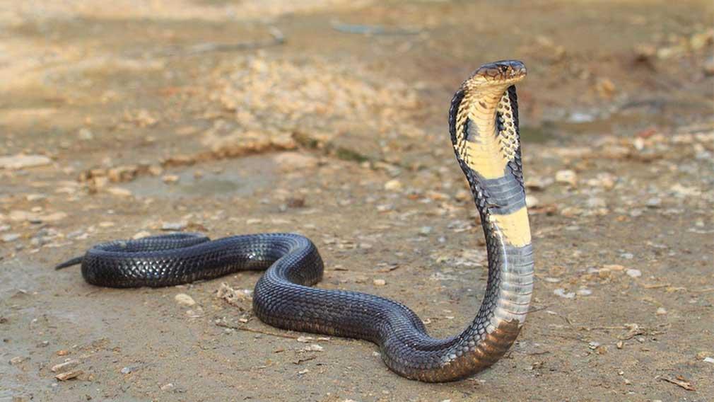 Los animales más venenosos del mundo y también los más peligrosos - Cobra real