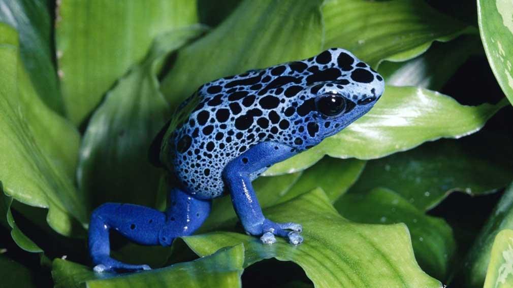Los animales más venenosos del mundo y también los más peligrosos - Rana de dardo venenosa