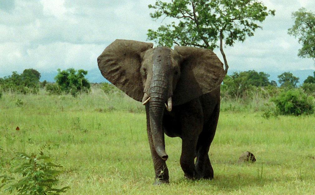 Los animales mas peligrosos del mundo, asombroso! Elefante africano de la sabana