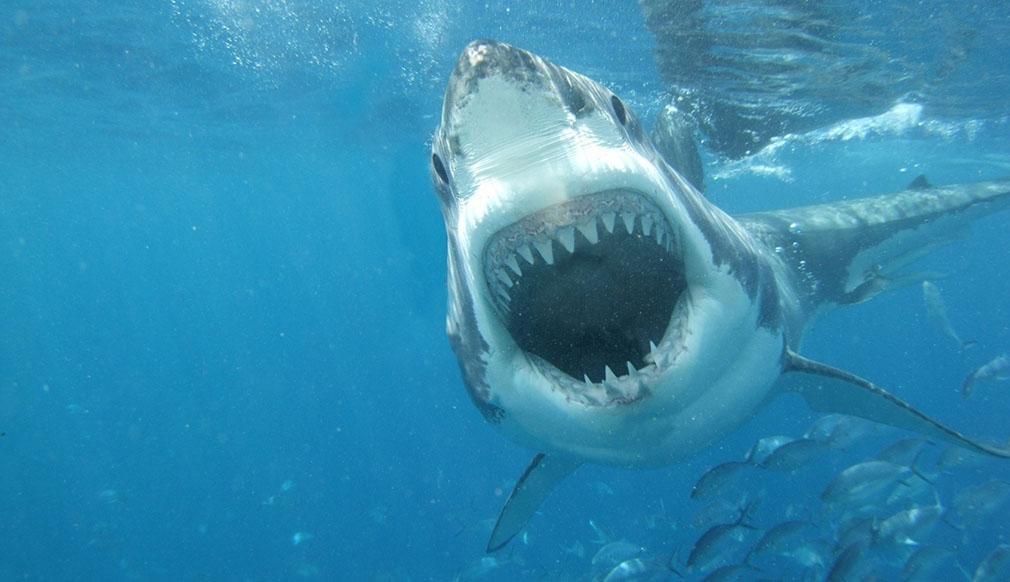 Los animales mas peligrosos del mundo, asombroso! Tiburón blanco