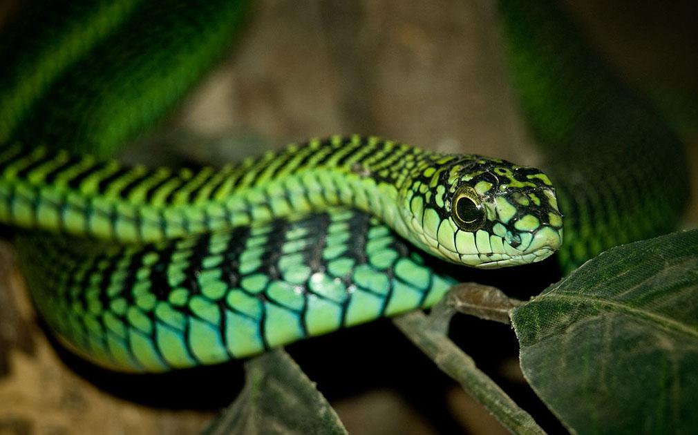 Los animales mas peligrosos del mundo, asombroso! serpiente Boomslang