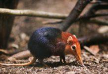 Los animales mas raros del mundo - Macroscelídea