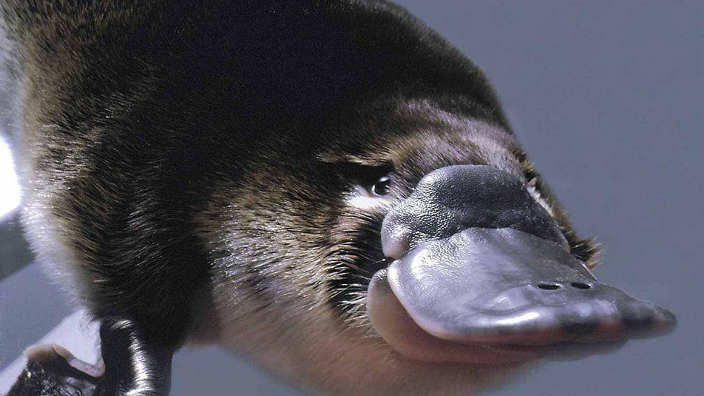 Características, curiosidades y veneno del Ornitorrinco