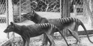 El tigre de Tasmania un animal ya extinto