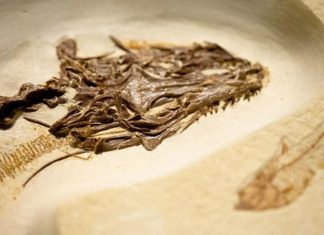 Lagarto de cuatro ojos extinto caminó por la tierra hace 49 millones de años